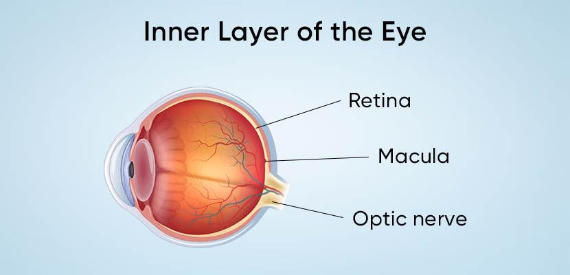 Inner Layer of Eye